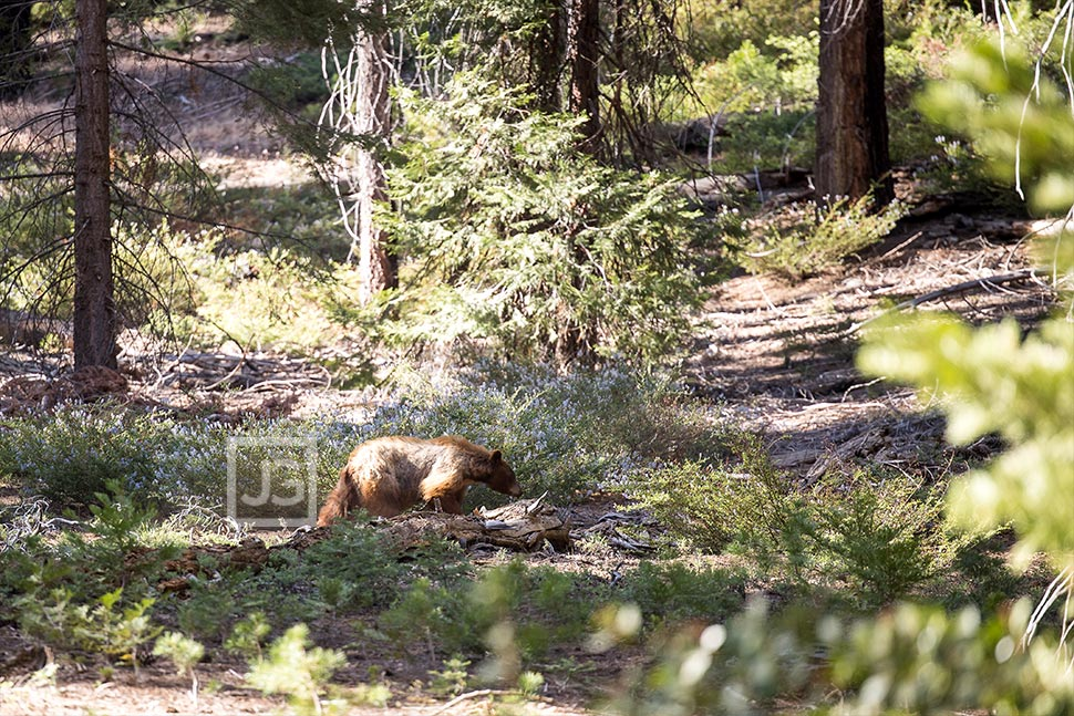 Bear in Mineral King