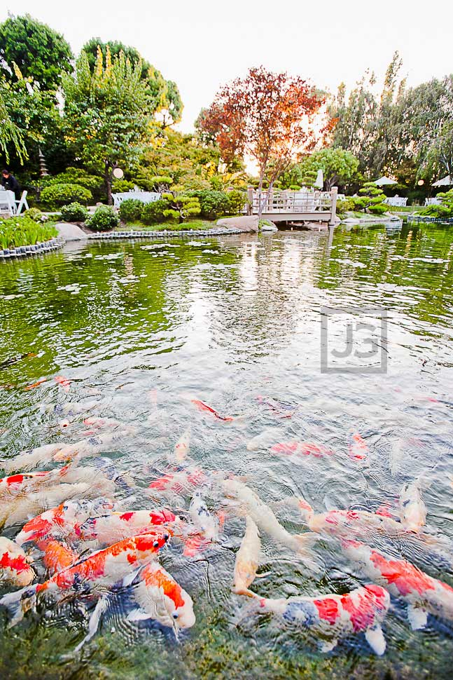 CSULB Japanese Garden Koi